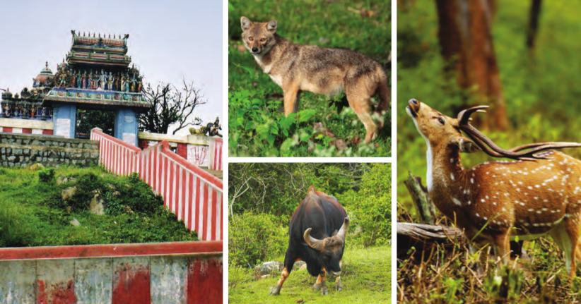 (Clockwise from extreme left) Tiger crossing the pathway; Gopala Swamy Temple: At 19 km from Bandipur National Park makes for a beautiful sight; A Jackal looking for his prey; Spotted deer with antlers; Indian bison w– the largest extant bovine