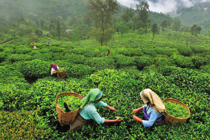 Teegärten in Westbengalen