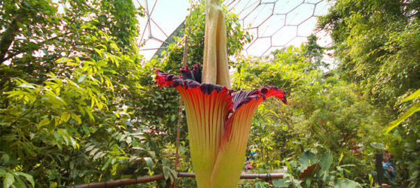- So far, 2016 seems to be a favourable year for the rare corpse flower that has bloomed at places all over the world. Recent bloom was at the Botanical Sanctuary in Kerala, India.