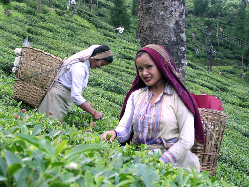 Small Tea Growers in India expecting a turn around with the new Tea Board development scheme