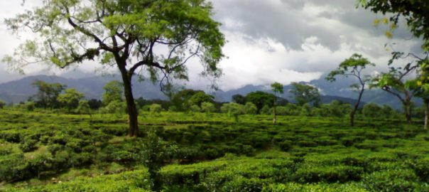The tea estates in the Dooars makes for a great getaway spot in West Bengal