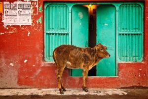 The cow, considered holy by many, is an important part of the political conversation in India these days