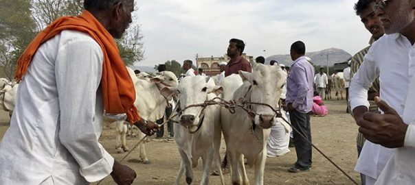 Cows are increasingly traded across the Indian borders illegally
