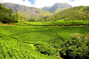 Tea plantations in India make for a green and clean vacation
