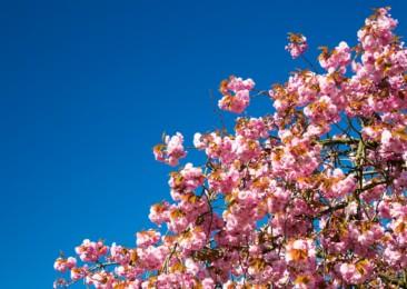 Cherry Blossom Festival in Meghalaya