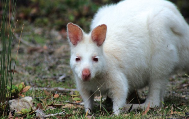 Rare white wallabies can be spotted on Bruny Island