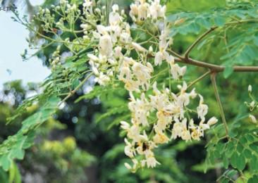 Le Moringa, l'arbre idéal