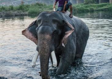 Les derniers éléphants de Delhi