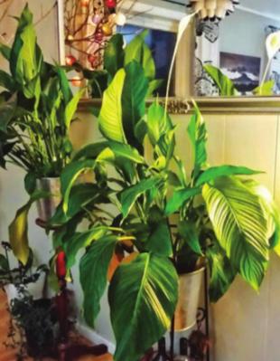 Des plantes dépolluantes