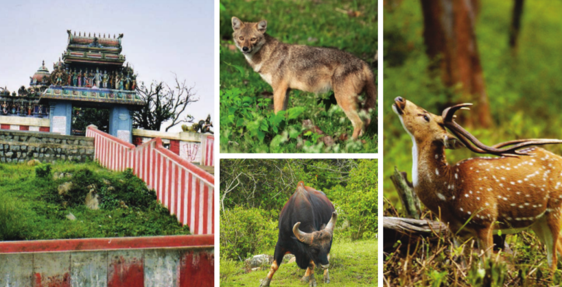 (Clockwise from extreme left) Tiger crossing the pathway; Gopala Swamy Temple: At 19 km from Bandipur National Park makes for a beautiful sight; A Jackal looking for his prey; Spotted deer with antlers; Indian bison – the largest extant bovine