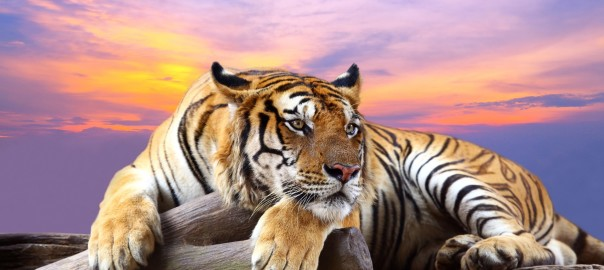 For the first time in almost 100 years, there has been an increase in the global tiger population