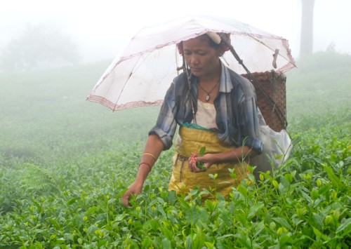 Indemnity for small tea growers in India
