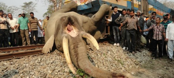 According to a report by the Elephant Task force, 150 Elephants were crushed to death by speeding trains between 1987 and 2010.