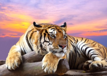 Nearly 74 tigers died in India in six months