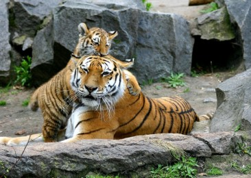 Uttarakhand to open India's first Tiger protect cell