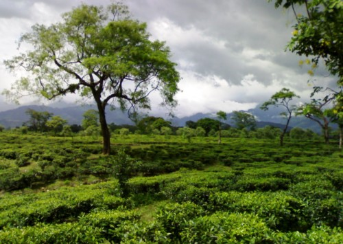 Four tea plantations to stay at while in India