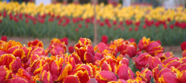 The tulip garden is seen as a milestone in making holidays memorable for thousands of domestic and foreign tourists who come to the Valley