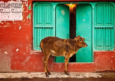 Support for cow slaughter ban gaining momentum in India