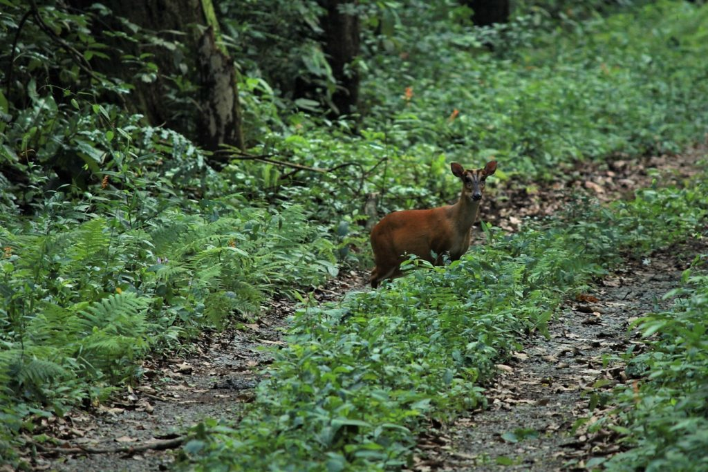 A Barking Deer caught unaware at the Buxa Tiger Reserve