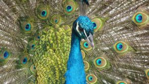 The peacock has been widely discussed following the High Court Judge's comments