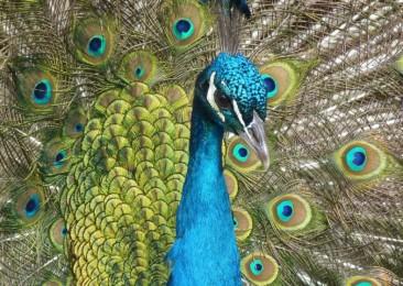 Celebrating celibate peacocks