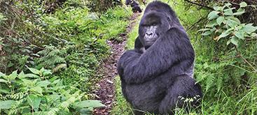 gorillas_rwanda
