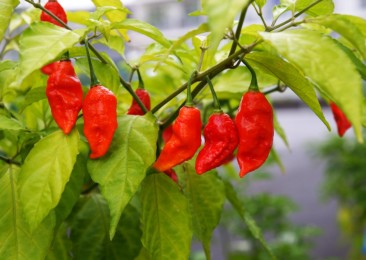 The hotness of ghost pepper