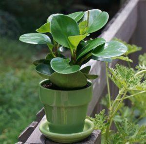 La « plante à monnaie » attire richesse et prospérité sur le logis