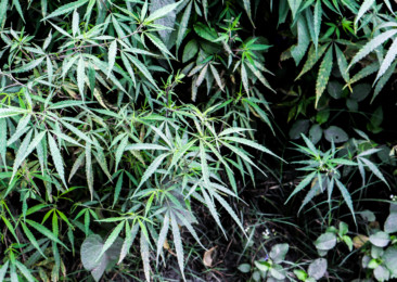 Wildly grown marijuana in India