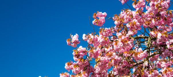 The India International cherry blossom festival will be held in Meghalaya this November