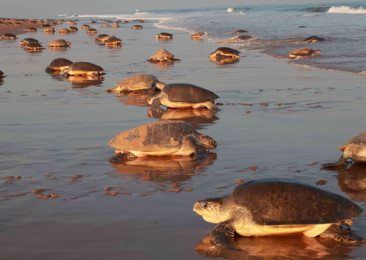 Protecting Olive Ridley sea turtles in Odisha