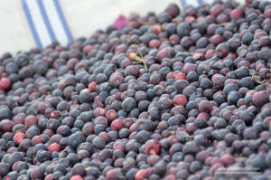 Phalsa Courtesy - Earth of India