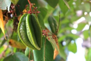 Unripe starfruit