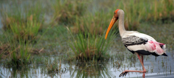 painted-stork-1