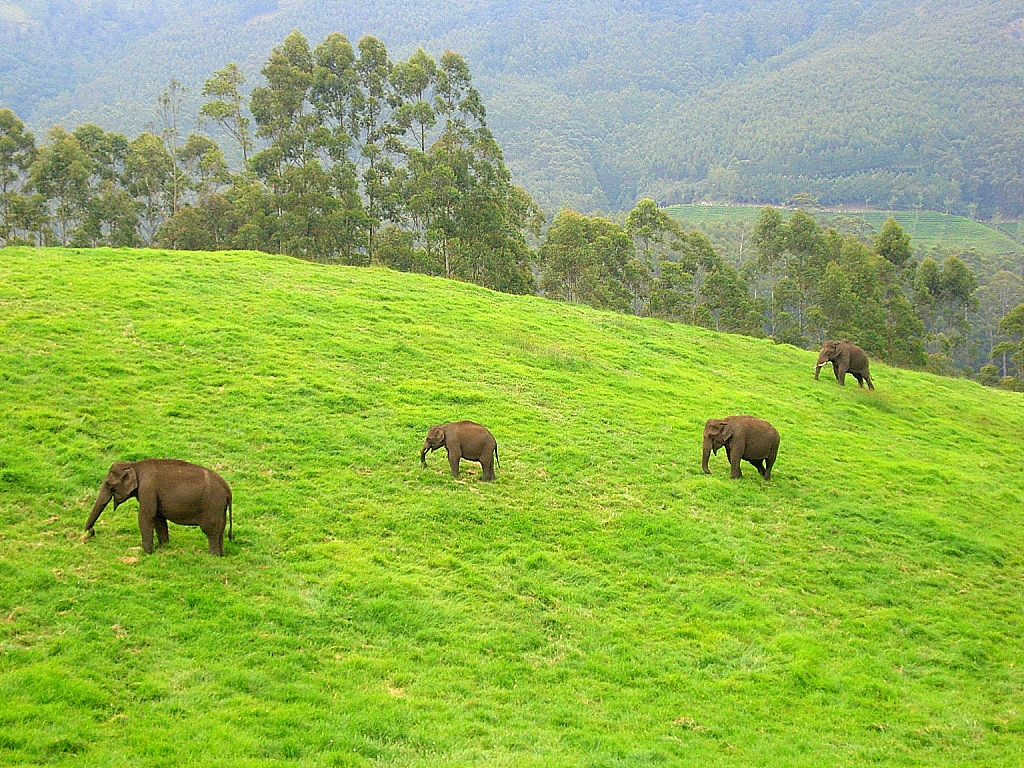 wild_elephants_munnar