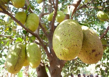 Jackfruit becomes Kerala's official fruit