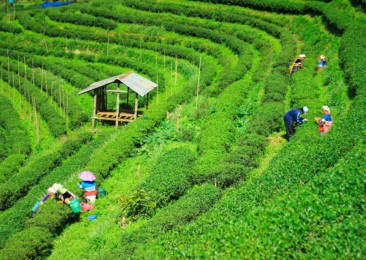 Tea production at a record high