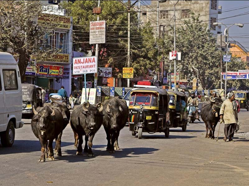 img-india-transport-cow_big