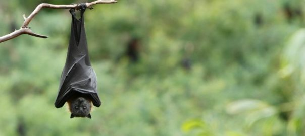 The virus can be transferred through infected bats, pigs or humans who have been infected