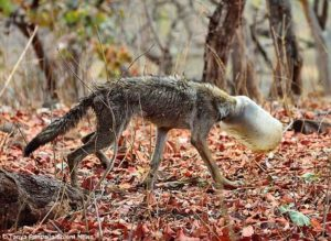 The malnourished wolf whose head was stuck in a plastic jar