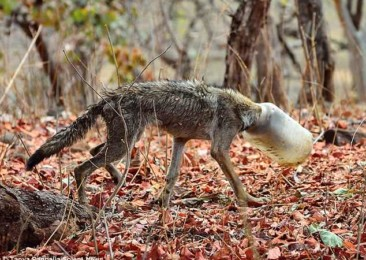 Nagpur youngsters rescue malnourished wolf from death