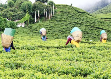 Travel tales from Sikkim's Temi Tea Estate