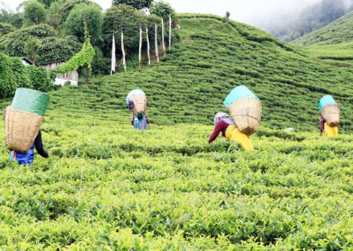 The organic wave in Sikkim