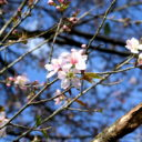 cherry blossom in meghalaya, picture by Christine Nayagam