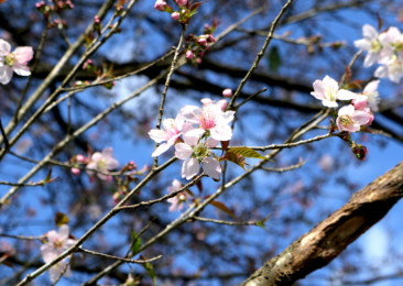 Experience Cherry Blossoms in Meghalaya