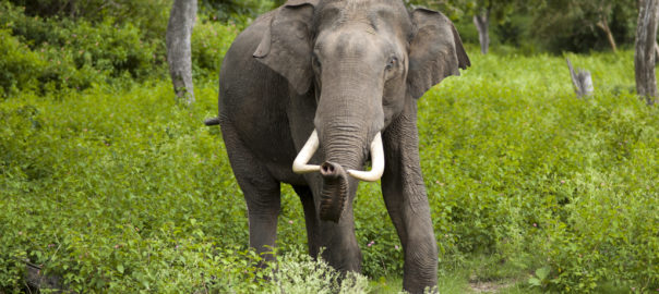 Elephas Maximus - India's predominant elephant species.