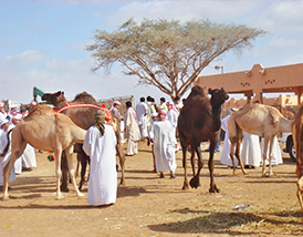 Ever tasted camel milk?