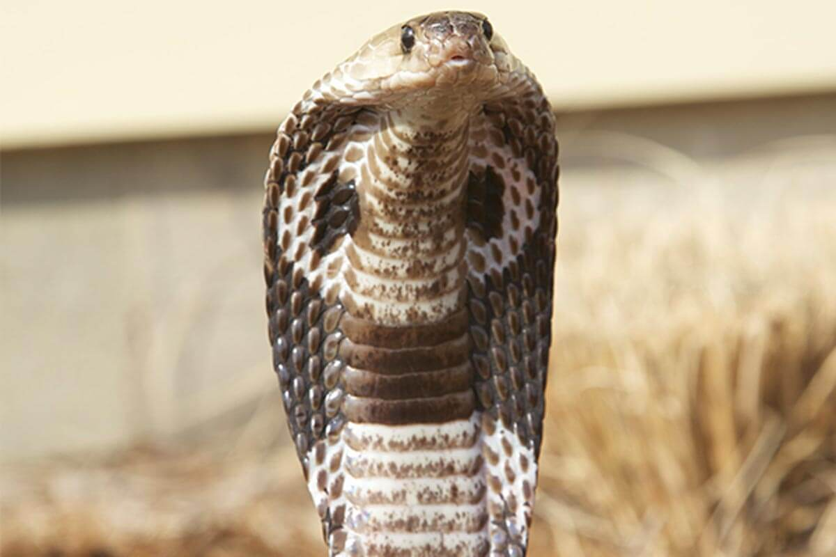 The Indian King Cobra