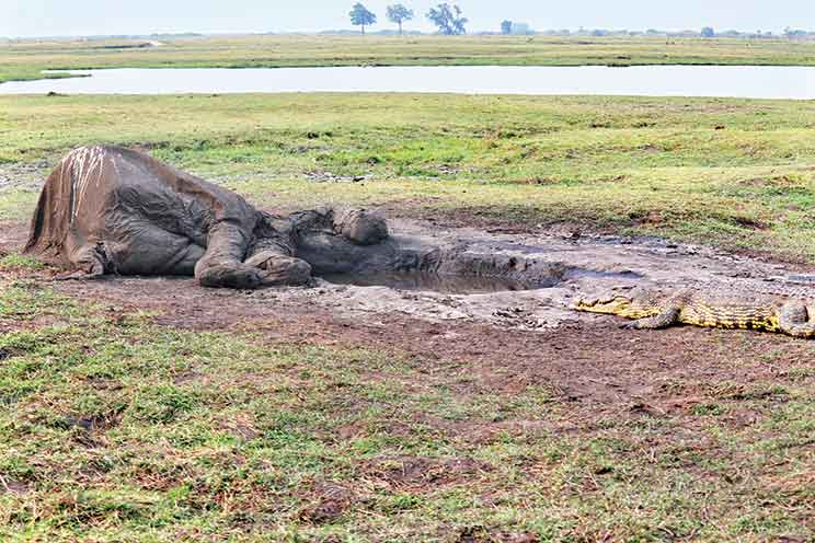 A big fill: A crocodile eating the remains of an elephant