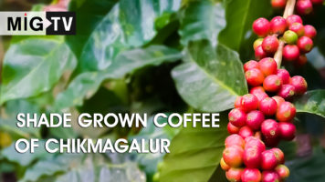 Shade grown coffee in Chikmagalur